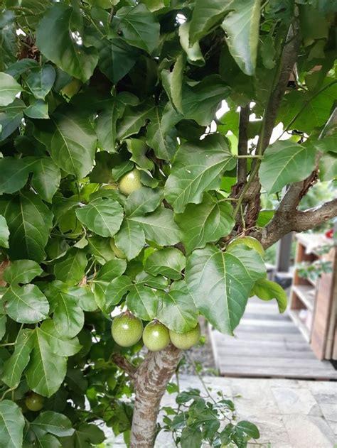Maracuyá Passion Fruit