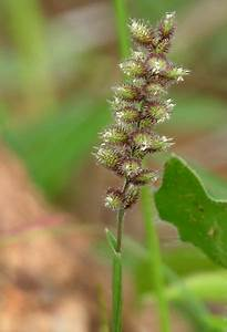 Poaceae Genera