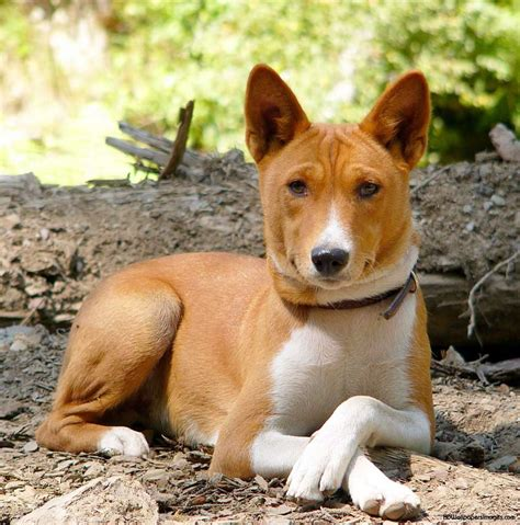 Basenji Puppies Rescue Pictures Information