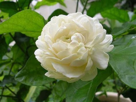 flower homes national flowers   saarc countries