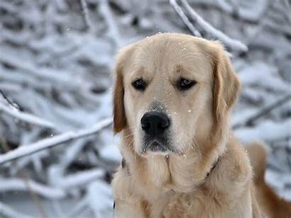Labrador Sad Wallpapers Info Fullhdpictures