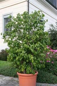 Ficus Bonsai Schneiden : ficus ginseng schneiden ficus ginseng hilfe schneiden und co pflegen schneiden veredeln green24 ~ Indierocktalk.com Haus und Dekorationen