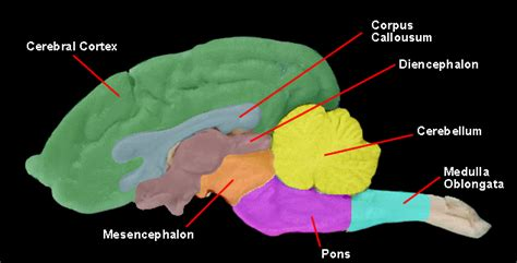 The nervous system consists of nerve cells (neurons). Gross regions of central nervous system - Wikiversity