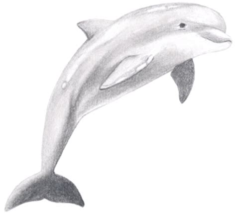 realistic dolphin drawing clip art library