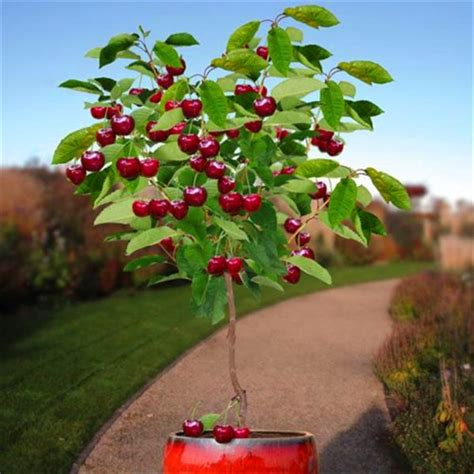 fruit seeds 30pcs cherry seeds tree seeds bonsai tree