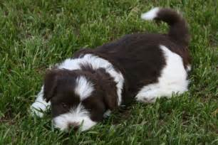 cute havanese dog photo and wallpaper beautiful sweet dogs