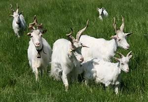 Girgentana-Ziege – Wikipedia