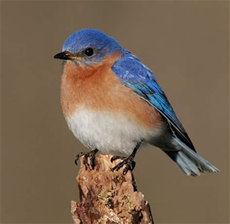 watchable wildlife eastern bluebird nys dept of