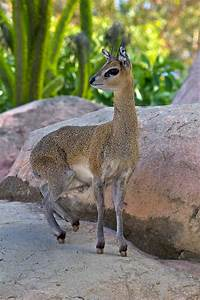 Klipspringer | San Diego Zoo Animals & Plants