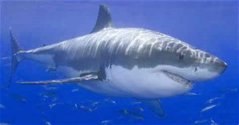 Great White Cage Diving with Sharks