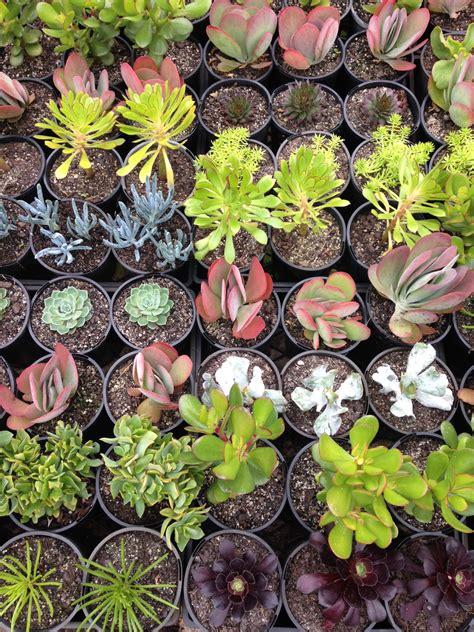 Assorted Succulents 6