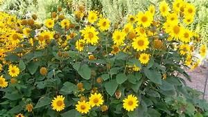 Gelbe Winterharte Pflanzen : stauden sonnenblumen pflanzen und pflegen ratgeber garten ~ Markanthonyermac.com Haus und Dekorationen