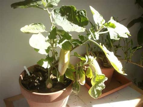 cultiver aubergine en pot culture de l aubergine et des piments en pot semences partage net