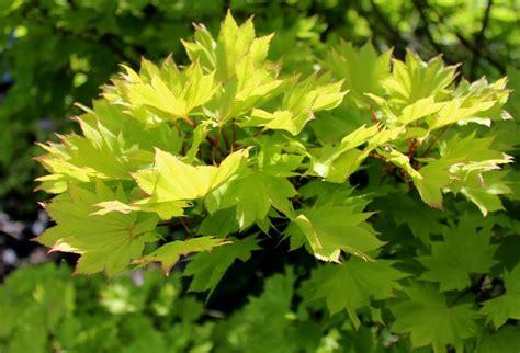 Japanischer Garten Ahorn by Japanischer Ahorn Acer Japonicum Garten Wissen