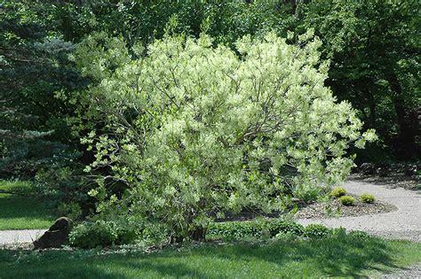 New Garden Nursery In Greensboro Nc by White Fringetree Chionanthus Virginicus In Greensboro