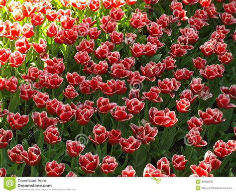 tulips in shade tulips in the shade stock photo image 30980530