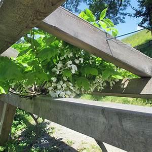 Schnellwachsende Sträucher Winterhart : wei bl hender blauregen wisteria sinensis 39 alba 39 schnellwachsende wei bl hende ~ Yasmunasinghe.com Haus und Dekorationen