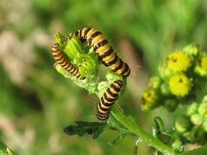 File Caterpillars Of A Cinnabar Moth  Tyria Jacobaeae  On