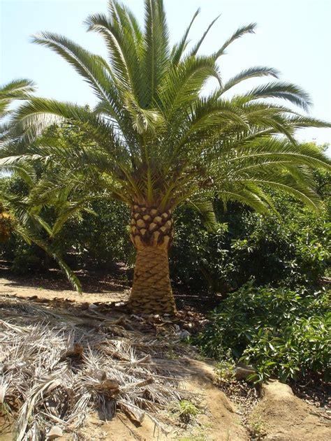 29 Best Arizona Palm Trees Images On Pinterest Palm