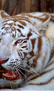 White tiger | The Amur Tiger (Panthera tigris altaica) is ...