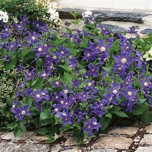 Kletterpflanzen Mehrjährig Winterhart : blaue bodendecker zwerg clematis online kaufen bei ahrens ~ Michelbontemps.com Haus und Dekorationen