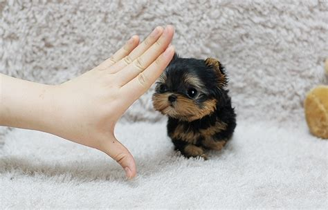 adorable real teacup yorkie puppies  sale dogs