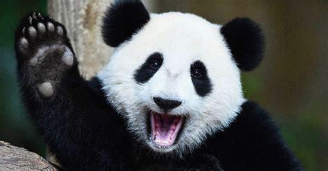 cual es el origen de los parches negros en los pandas