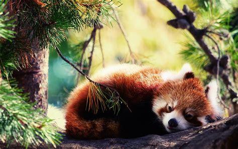 red panda wallpaper hd  images