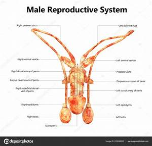 30 Label The Parts Of The Male Reproductive System