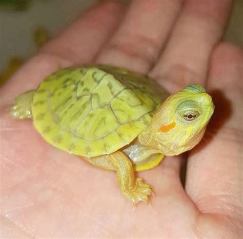 ear slider turtles sliders turtles and ears on pinterest