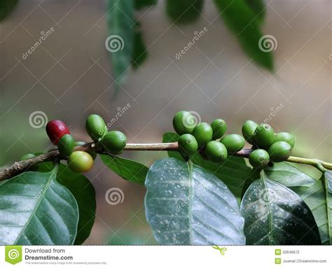 The top countries of suppliers are india, india, and china, from which the percentage of best coffee. Organic Coffee Beans From India Stock Photo - Image of ...