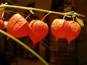 Chinese Lantern Flowers Fruit
