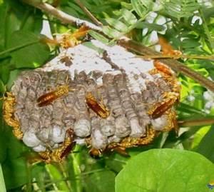 Nid De Guepe Dans Le Sol : comment d truire un nid de guepes dans le sol ~ Dailycaller-alerts.com Idées de Décoration