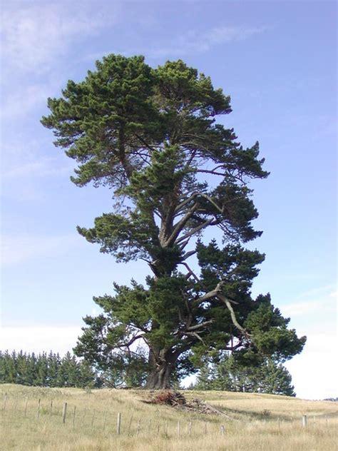 Pinus radiata (Monterey pine) description - The Gymnosperm ...