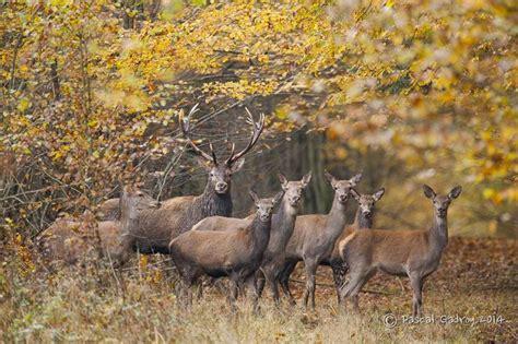 harde de cerf  biches en automne cerf  biche