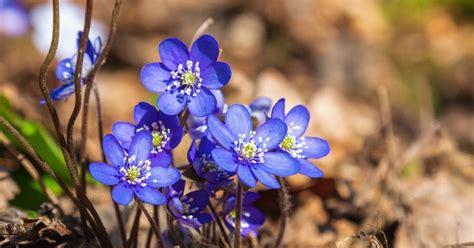 Zilās pavasara 'sniega lauzējas' vizbulītes - DELFI
