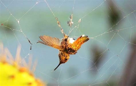 which animals prey on hummingbirds audubon
