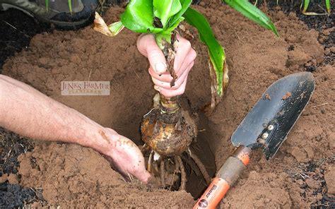 how to plant bulbs how to plant a crinum lily bulb jenks farmer