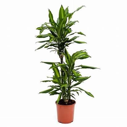 Dracaena Fragrans Cintho Plants Indoor Stem Multi