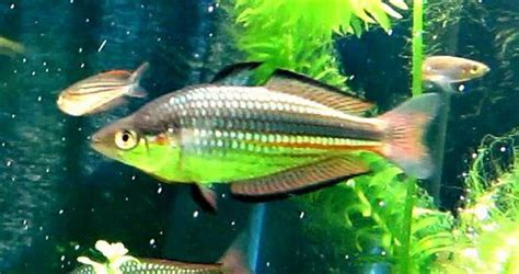crimsonspotted rainbowfish melanotaenia duboulayi