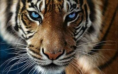 Tiger Eyes Desktop Wallpapers Eyed Bengal Definition