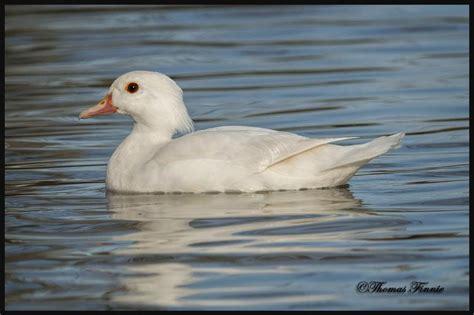 First Wood Duck + Albino?