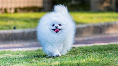 Cute fluffy white pomeranian dog - HD wallpaper download ...