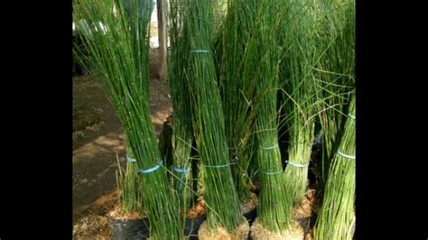 bibit tanaman hias bambu air harga murah