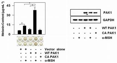 Melanin Gene Pak1 Increase Panel Expressing Left