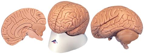 what color is a brain low cost human brain models