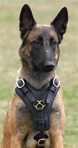 Police Dogs Malinois