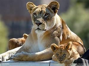 fond d39ecran lionne et ses lionceaux With plan de maison original 14 fond decran lion blanc
