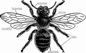 Bee Body Parts