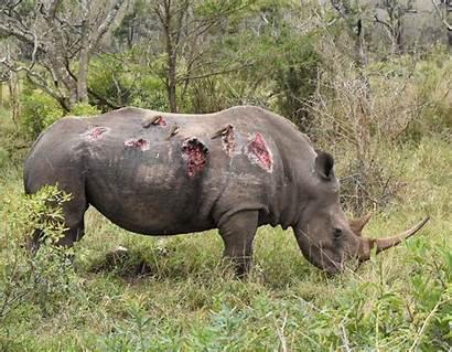 Rhino Elephant Bull Fight Rhinos Hide Natureismetal